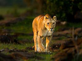 Lion - Panthera leo