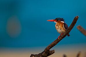 Martin-pêcheur huppé - Corythornis cristatus